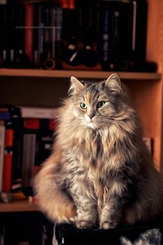 Ohhhhh...  This Gorgeous Maine Coon http://www.mainecoonguide.com/adopting/