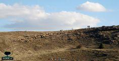 Başağaç, koyunlar, sürü basagacweb.blogspot.com.tr