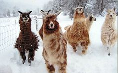 The family llamas enjoy a snowy romp in White Sulfur Springs, West Virginia. Photoby Leah Spence. country-magazine.com