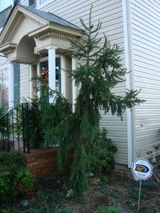 Plant Profile: Weeping Norway Spruce (Picea abies �Pendula�)