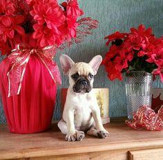 French Bulldog puppy craziness