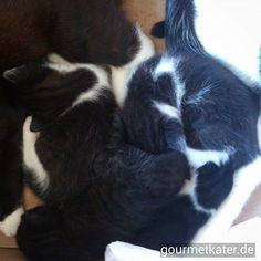 Mittags-Schlaf in Kuschel-Runde! #gourmetkater #katze #cats #kitten #cute
