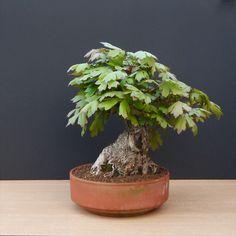 photo Bonsai Forest, Bonsai Art, Bonsai Plants, Bonsai Garden, Bonsai Trees, Japanese Maple Bonsai, Mame Bonsai, Traditional Japanese Art, Bamboo Tree