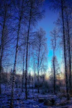 The birches at winter sunset (no location given) by Mikael Ring Photography [see https://500px.com/photo/212736661]
