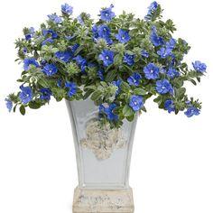 Proven Winners - Blue My Mind® - Dwarf Morning Glory - Evolvulus hybrid blue blue-true plant details, information and resources. Blue Garden, Dream Garden, Container Plants, Container Gardening, Flower Containers, Blue Plants, Gardening Zones, Gardening Vegetables, Gardening Tips
