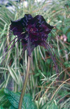 Black Bat Flower - (Tacca  chantrieri)