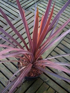 Cordyline australis 'Red Star' http://www.facebook.com/pages/Le-Jardin-de-Monsieur-Semper/236141563196029