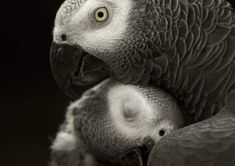 African Parrot Grey health diet personality intelligence training and care Parrot Stand, Senegal Parrot, Talking Parrots, African Grey Parrot, Parrot Bird, Cute Birds, Cute Baby Animals, Beautiful Birds, Cute Babies