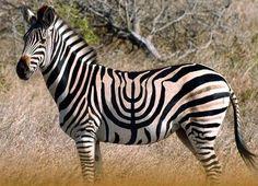Hanukkah Zebra for Tucker!! #jewishpets
