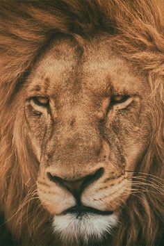 lions | So majestic
