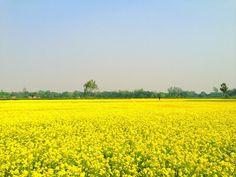 Mustard field (Ocean of yellow) Nayeem by lonelynayeem