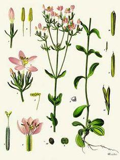 Centaurée | Remèdes de Grand-Mère