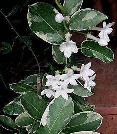 Stephanotis variegated