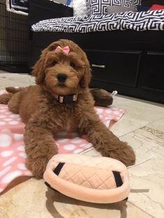How adorable is this face?!?  Goldendoodle puppy from Moss Creek Goldendoodles