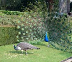 Welcome Dance for peacock