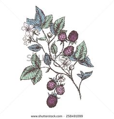 Vintage flower and berry background. Beautiful blackberries branch. Botanical illustrations.