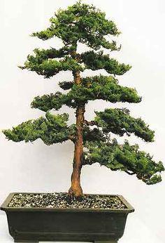 Bonsai Tree Histories: Hinoki Cypress Bonsai Case History (chamaecyparis obtusa)