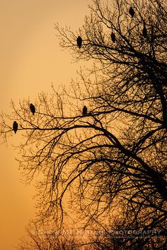 Cold but Colorful - Bald Eagles in tree overlooking the Mississippi River   Show Me Nature Photography