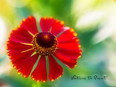 Ronny is telling you:'Solo für die rote Sonnenbraut' Dandelion, Floral, Nature, Flowers, Plants, Red Dwarf, Dahlias, Flower Pictures, Make A Donation