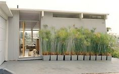 THIS style of plant (or bamboo) for the container separating the dog run and the deck, but in tall black rectangular containers instead.