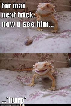 Lizard Magic is Best Magic - Funny Animal Memes and GIFs that are pure comedy gold. Animal Captions, Funny Animals With Captions, Animal Jokes, Funny Animal Memes, Funny Animal Pictures, Cute Funny Animals, Cute Baby Animals, Animal Funnies, Like Animals