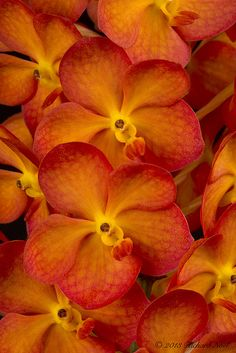 "Orchid: Ascocenda Fuchs Sunset Glow ""Starrlyn"" AM - Flickr - Photo Sharing!"