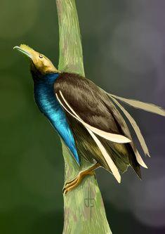 Ave-del-paraíso de Wallace - Standardwing Bird-of-paradise Bänderparadiesvogel - Paradisier de Wallace