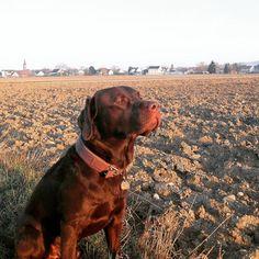 Ernie enjoys the morning sun!   #labradors_ #labradorable #labradorlove #labradorlife #labradorretriver #labradorchocolate #labradorofinstagram #dog #dog #dog #dog #dogsarebetterthanpeople #dogsareagirlsbestfriend #dogloversofinstagram #dogpark #Freiburg