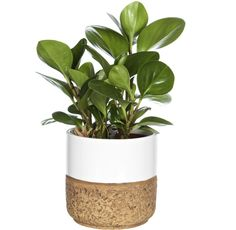 06. peperomia  Den här växten tål torr luft, vilket är vanligt i vårt klimat. Trivs bäst i halvskugga och vill torka upp mellan vattningarna.    Genom att beskära peperomian på våren får du en rund och tät växt.