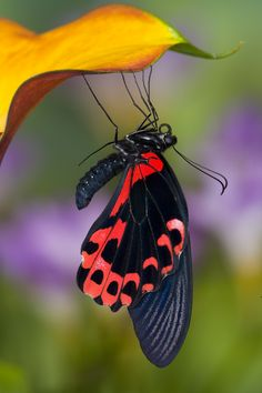 The Scarlet Mormon on Calla Lily resting, Papilio Rumanzovia, photographed by:  Darrell Gulin