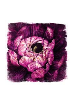 Purple Ranunculus Fine Art Print, Illustration Flower Coloured Pencil Pen Grunge Texture Art Magenta Pink, In this piece I used a mixture of coloured pencils and graphic pens to recreate the detail and vibrancy of this Ranunculus. I then imported my artwork on to my computer and added depth and texture through digital software.