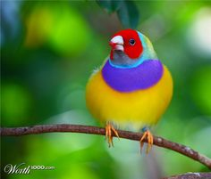 ooo color! Gouldian finch