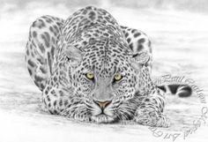 Panthera Pardus: 24 тыс изображений найдено в Яндекс.Картинках