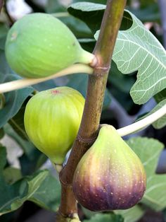 Fig Get detailed growing information on this plant and hundreds more in BHG's Plant Encyclopedia.
