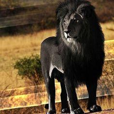 A Black Lion...