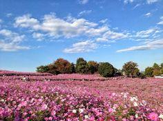 http://tokyocheapo.com/events/cosmos-flower-festival-showa-kinen-park/