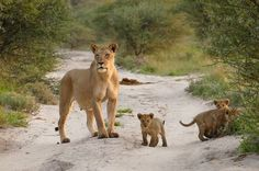 A mother lion will spend the entire evening, and well into dusk, hunting a wide variety of prey. This can include buffalo, wildebeest, warthogs, wild boar, and several other native animals found in Africa. More than half of a lion's diet will take place in the Serengeti plains and could consist of scavenged foods from the kills of cheetahs and leopards.