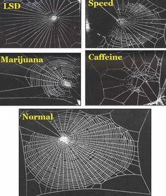 Abaixo é possível ver estudo feito que demonstra o efeito de diversos tipos de substâncias sobre as aranhas no momento em que estão produzindo suas teias. Assustador não? Imagina o que essas substâncias químicas como lsd ou maconha não podem fazer contigo ein?