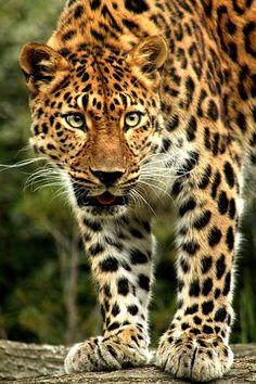 Katerina, 16 yr old Amur Leopard
