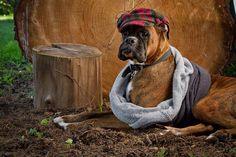 Fotografía Alejandra Iampietro - handsome boxer dog!!!