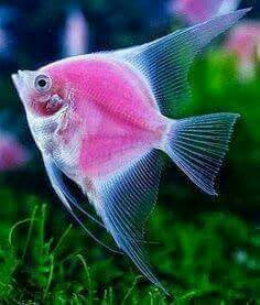Pink Fish Picture from Tropical Fish/Underwater Sea Life. Pretty Fish, Cool Fish, Beautiful Fish, Beautiful Tropical Fish, Beautiful Pictures, Underwater Creatures, Underwater Life, Ocean Creatures, Beautiful Sea Creatures
