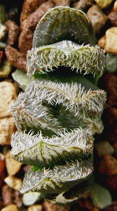 Haworthia cv.Shirayuki-Emalai. STC-60998. by Haworthia en Irun Guipuzcoa