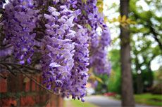 Rooting Wisteria Cuttings: Grow Wisteria From Cuttings