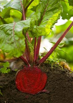 How to grow beets | I will SOOOO be planting beets this year!!