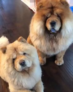 Shear to Win Perros Chow Chow, Chow Chow Dogs, Cute Puppy Videos, Cute Animal Videos, Cute Videos, Fluffy Dogs, Fluffy Animals, Animals Dog, Cute Funny Dogs