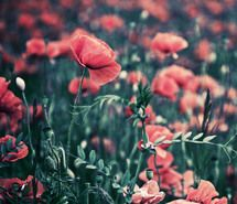 beautiful, fields, flowers, poppies, poppy, red