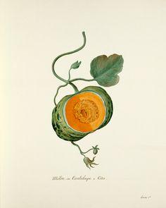 Pierre François Ledoulx -- Cucumis melo -- Pierre François Ledoulx -- Artists -- RHS Prints