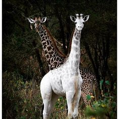 This is pretty cool.  Guides discovered a rare giraffe in Tanzania that is almost completely white.  My first thought was that the giraffe is albino, but according to the Wild Nature Institute, the giraffe is actually leucistic. Unlike albino animals, animals with leucism have some level of pigmentation.