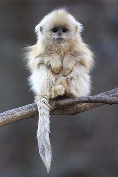 Golden Snub Nosed Monkey pic.twitter.com/kIY6hhIo0v