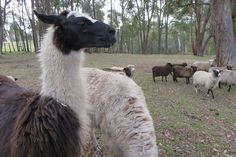 Llamas Melbourne